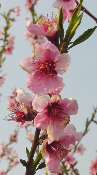 Peach_blossoms