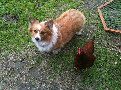 Maggie Moo the Corgi (with Rosie the Rhode Island Red Hen)
